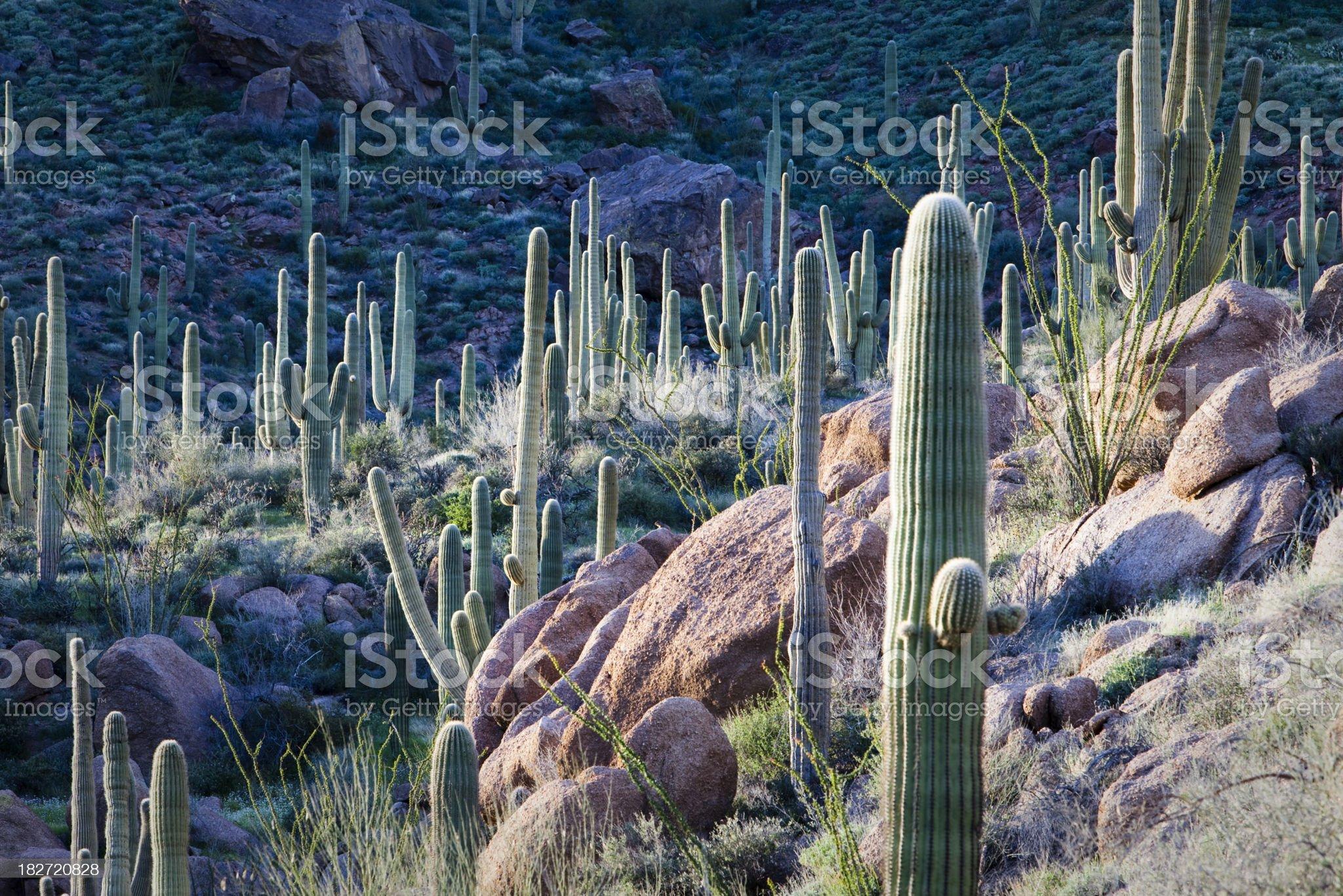 Saguaro Cacti Desert Landscape in Arizona royalty-free stock photo