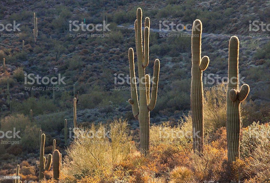 Saguaro Cacti in the Desert stock photo