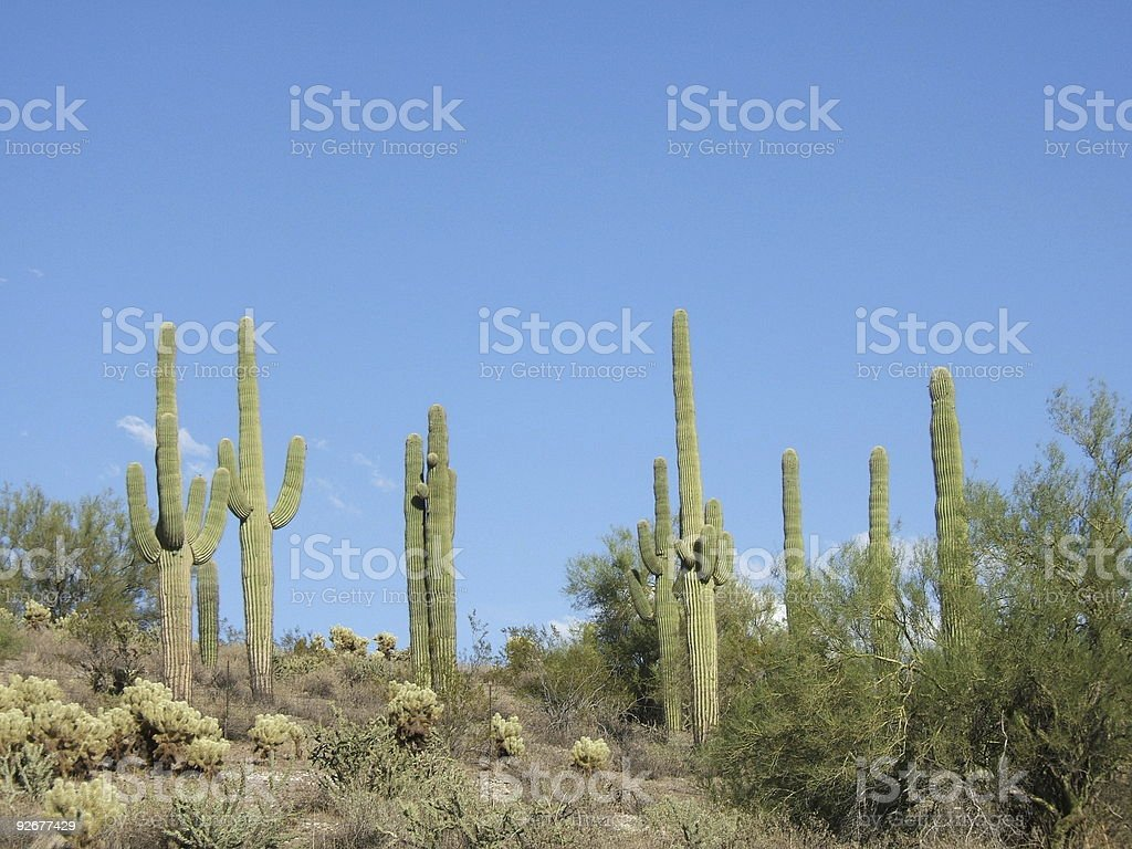 Saguaro cacti in the Sonoran Desert of Arizona royalty-free stock photo