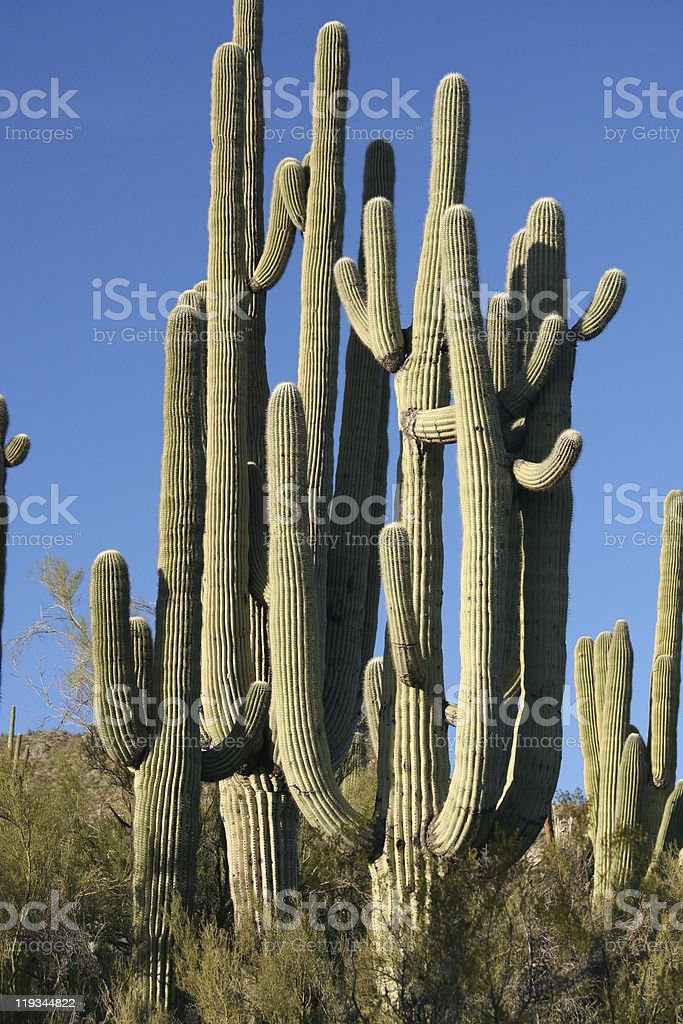 Saguaro Cacti royalty-free stock photo
