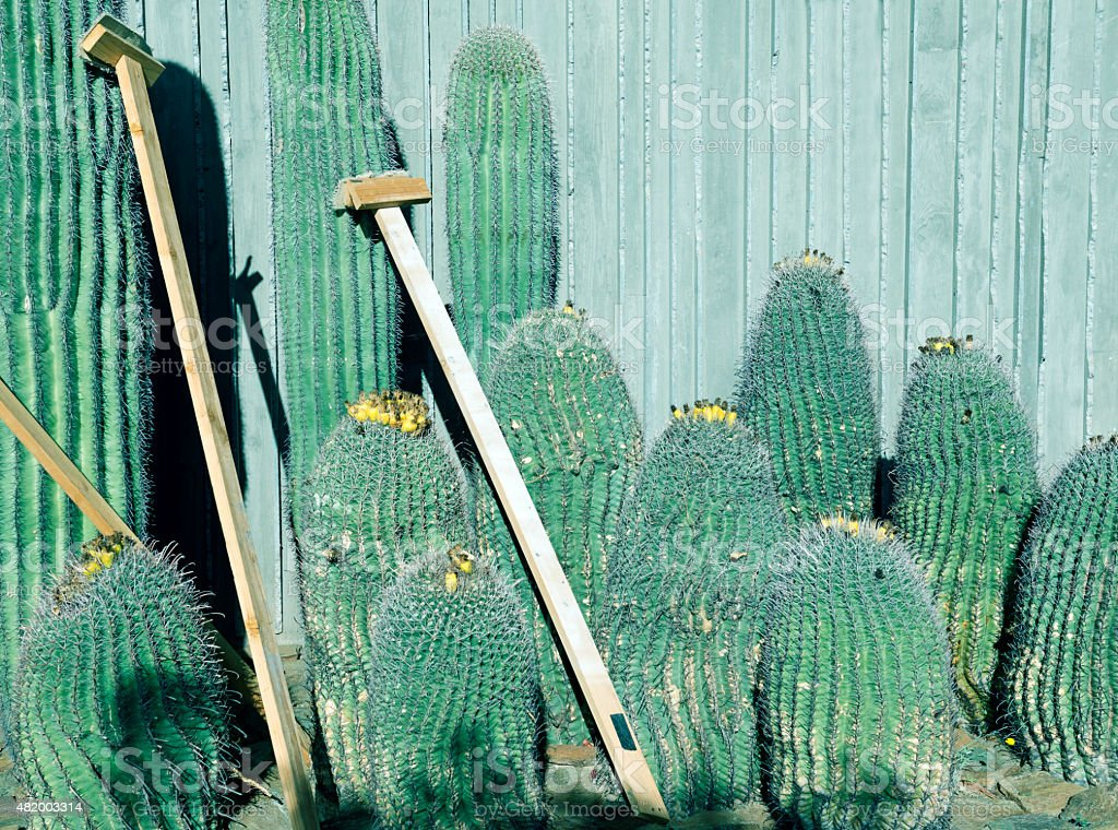 Saguaro cacti propped by wall in Scottsdale AZ stock photo