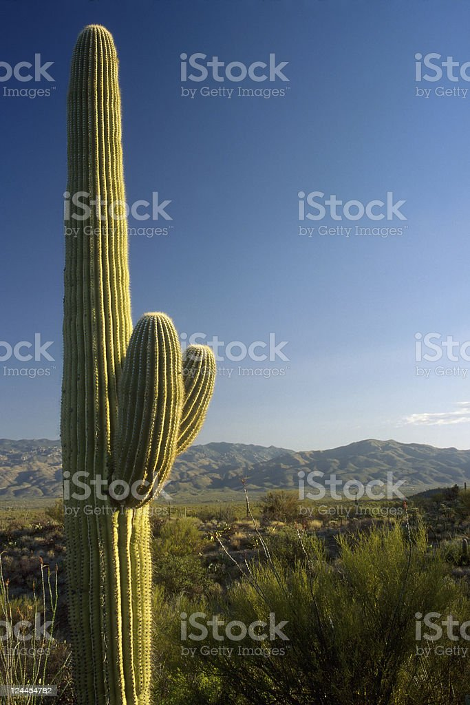 Saguaro Cactus and Blue Sky stock photo