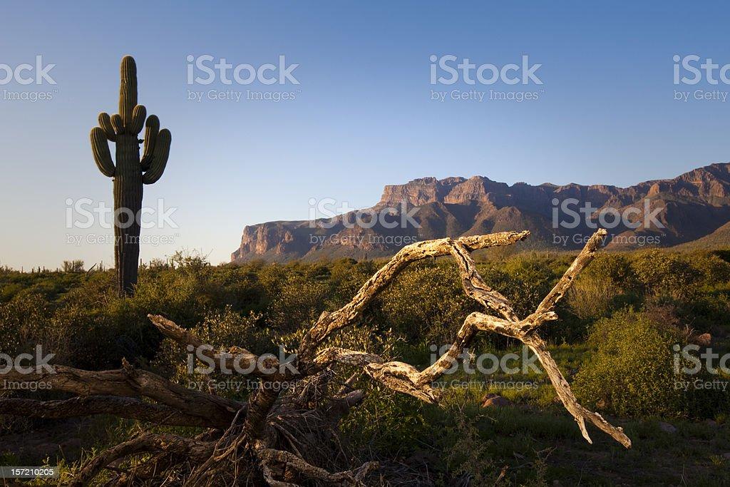 Saguaro Cactus and Dead Tree in Arizona stock photo
