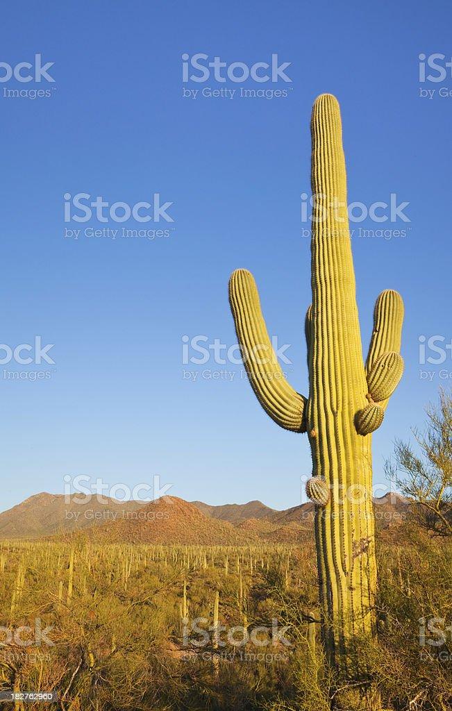 Saguaro Cactus and Desert Landscape stock photo