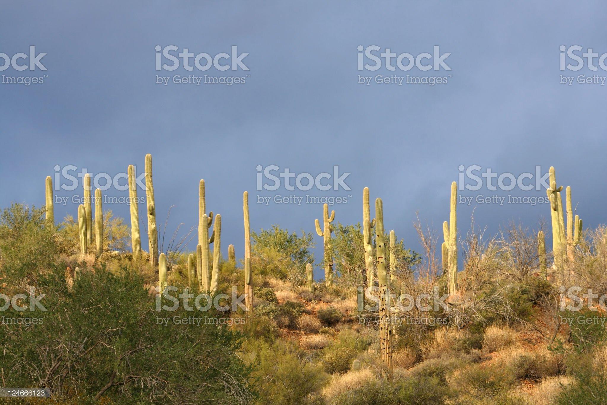 Saguaro Cactus and Stormy Sky royalty-free stock photo