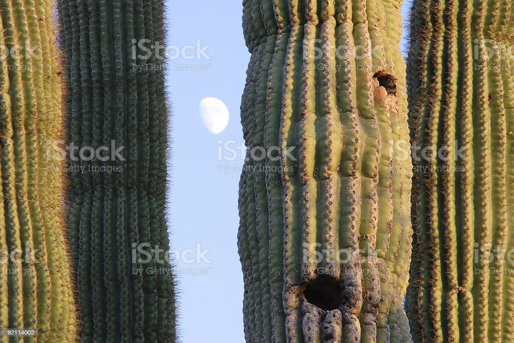 Saguaro cactus and The Moon royalty-free stock photo