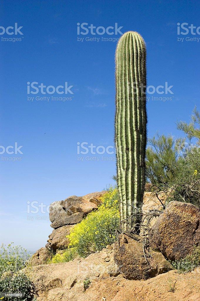 Saguaro Cactus and Yellow Poppies on Desert Mountainside royalty-free stock photo
