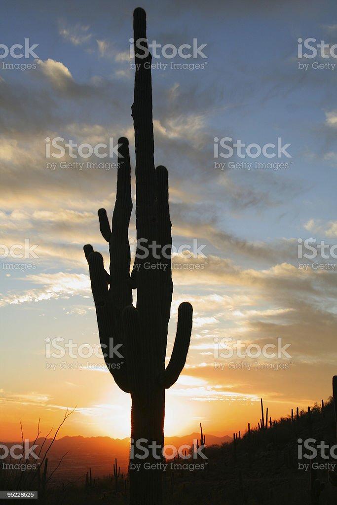 Saguaro Cactus at Sunset royalty-free stock photo
