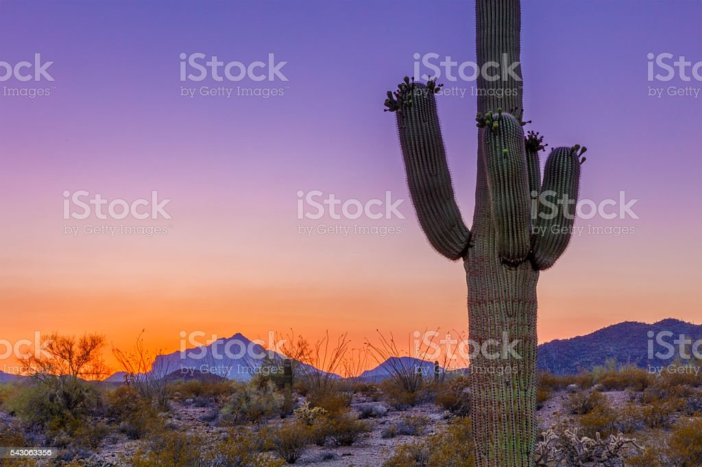 Saguaro Cactus at Twilight in Arizona Desert stock photo