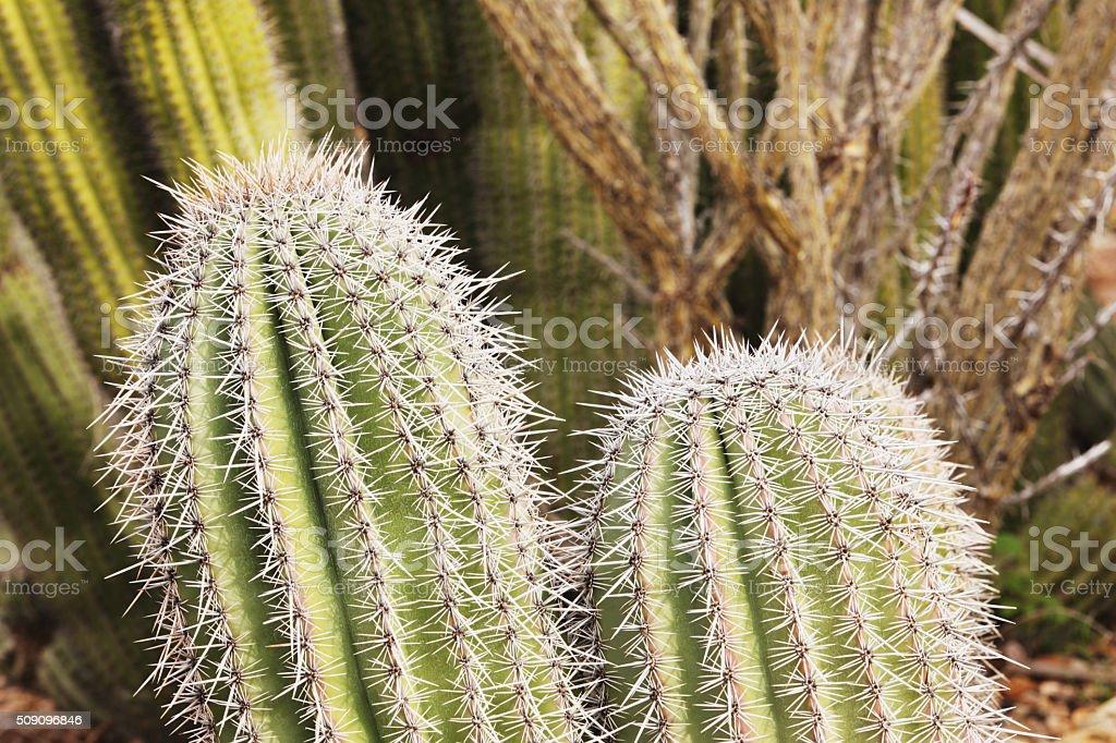 Saguaro Cactus Carnegiea gigantea Plant stock photo