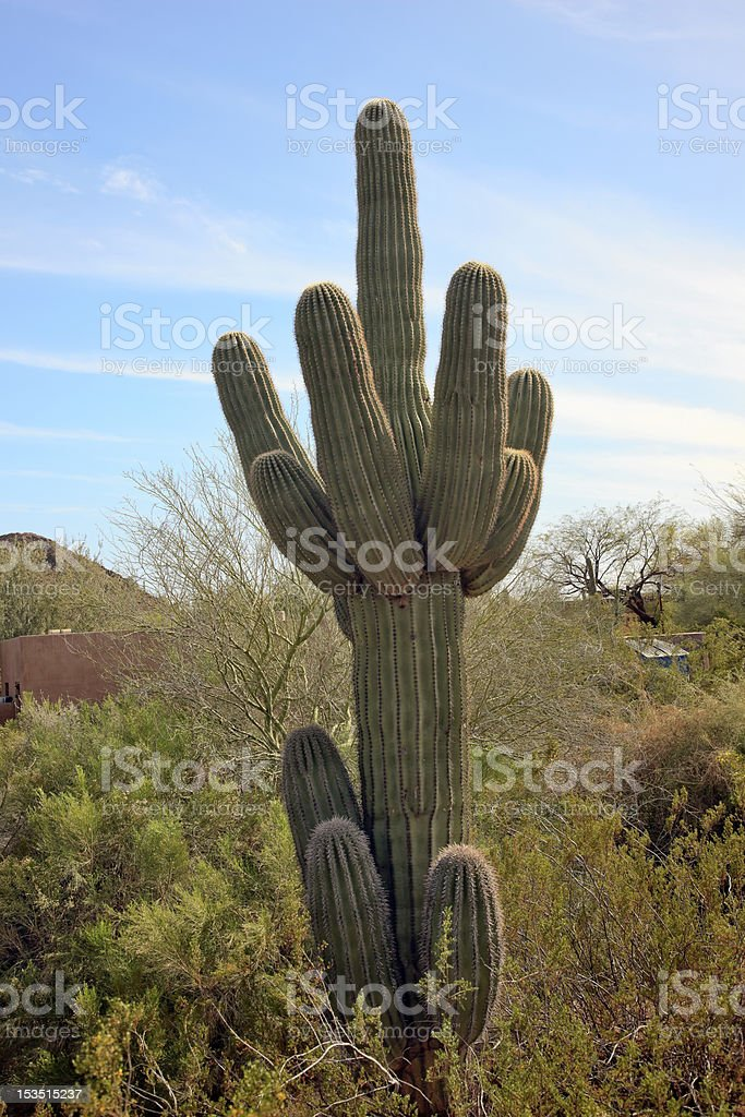 Saguaro Cactus Desert Botanical Garden Phoenix Arizona royalty-free stock photo