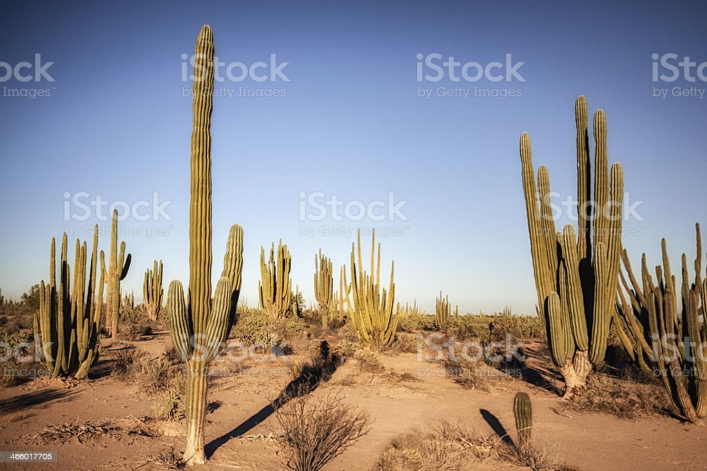 Saguaro Cactus Field stock photo