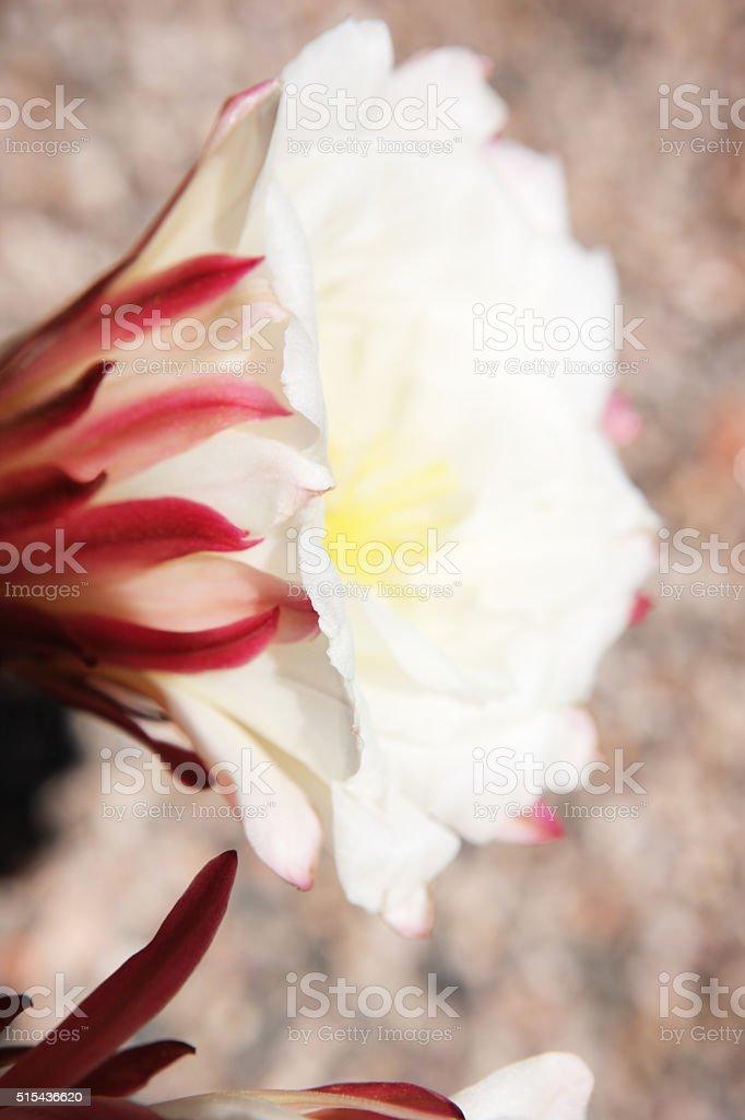 Saguaro Cactus Flower Blossom Petals Sepals stock photo