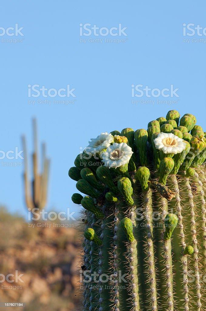 Saguaro Cactus Flowers stock photo