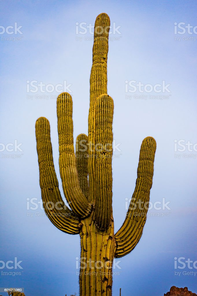 Saguaro Cactus in Desert at Sunset stock photo