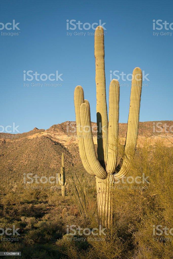 Saguaro Cactus in Desert royalty-free stock photo