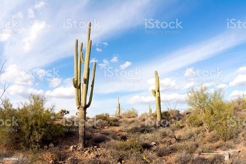 Saguaro cactus in desert stock photo