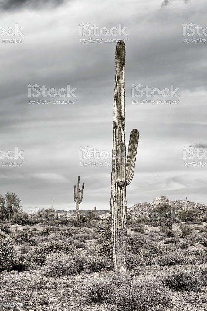 Saguaro cactus in desert stock photo