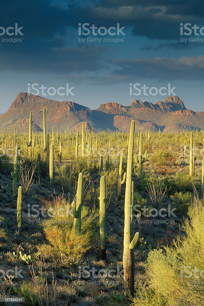Saguaro Cactus in Sonoran Desert and Mountains stock photo