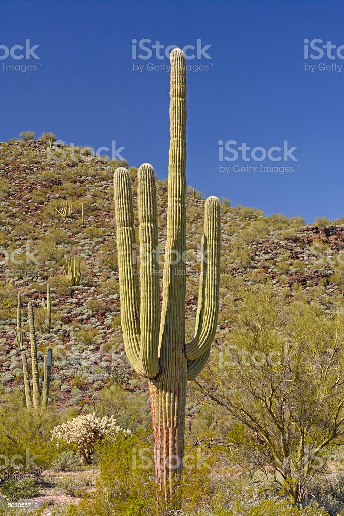 Saguaro Cactus in the Desert Mountains stock photo