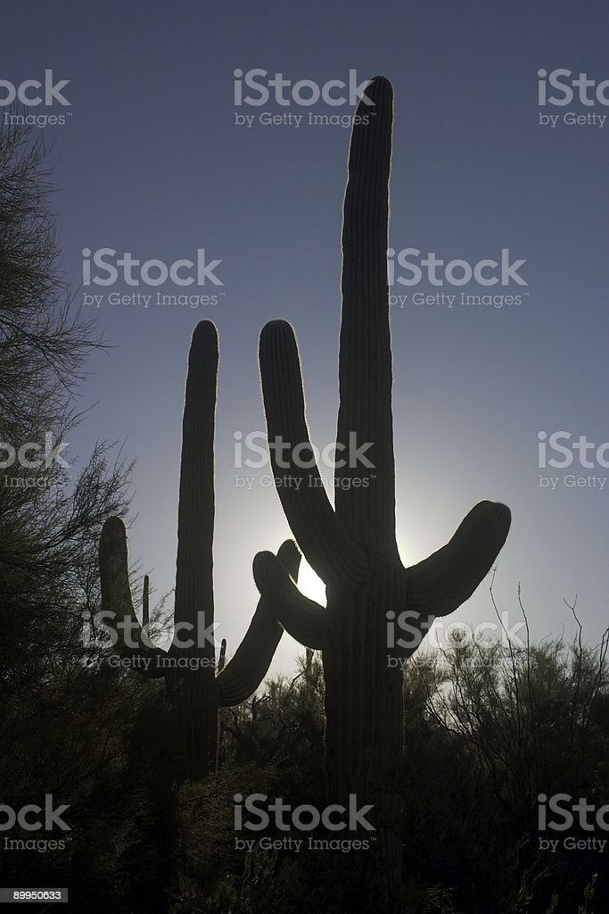 Saguaro Cactus in the Morning stock photo