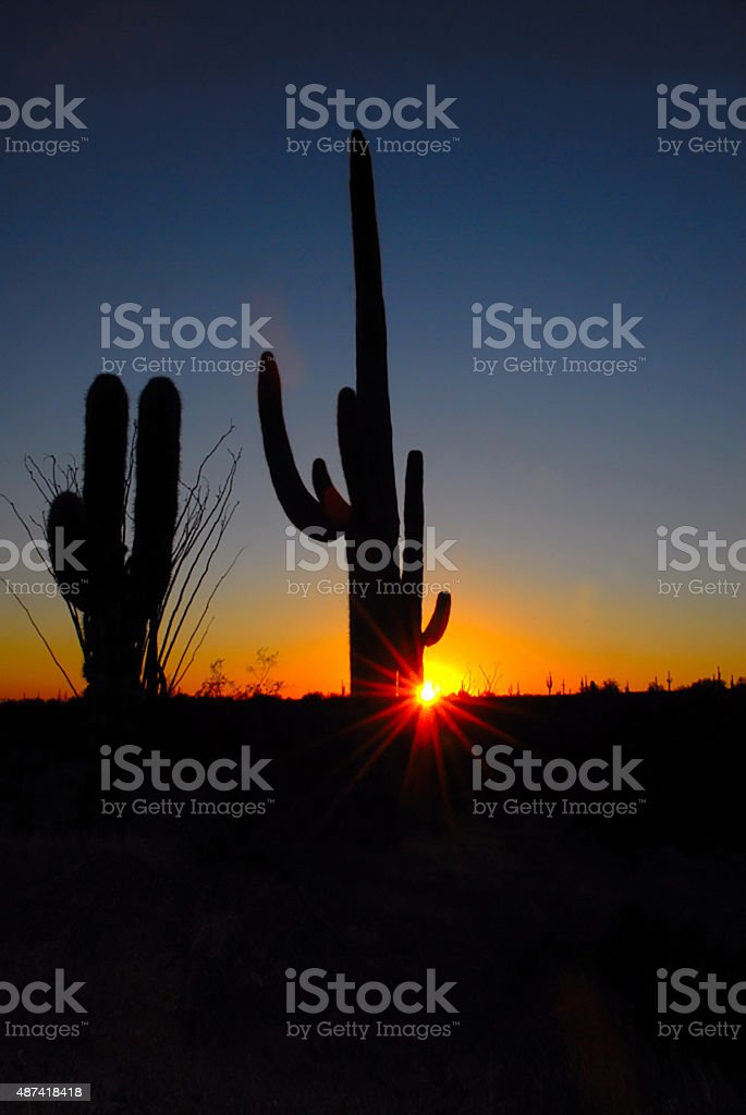 Saguaro Cactus in the Sunset stock photo