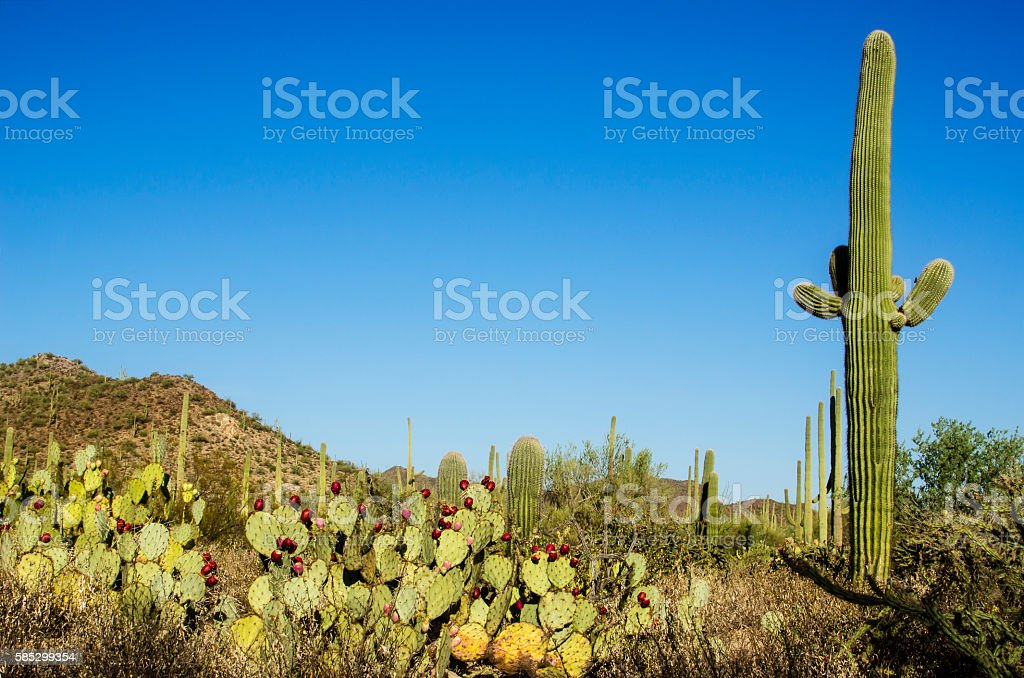 Saguaro Cactus Landscape stock photo