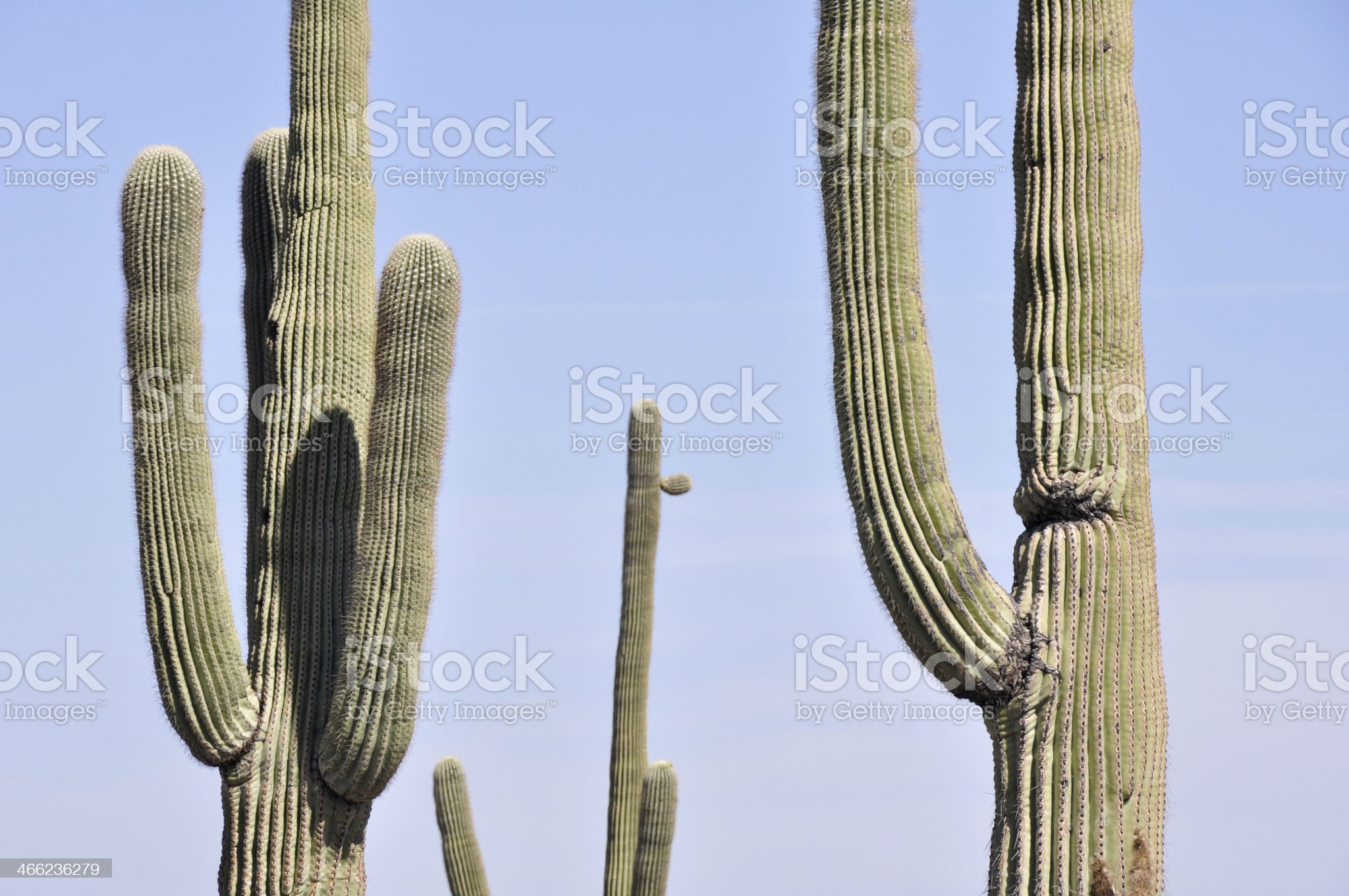 Saguaro cactus, Organ Pipe Cactus National Park, Arizona royalty-free stock photo