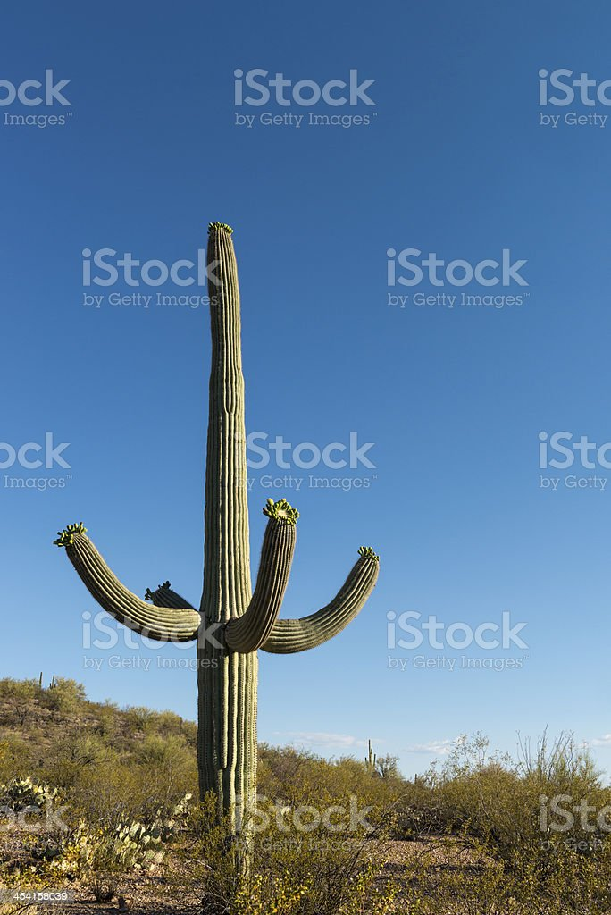 Saguaro Cactus royalty-free stock photo