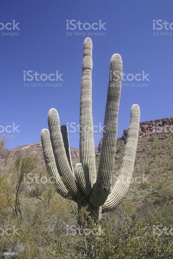 Saguaro cactus royalty-free stock photo