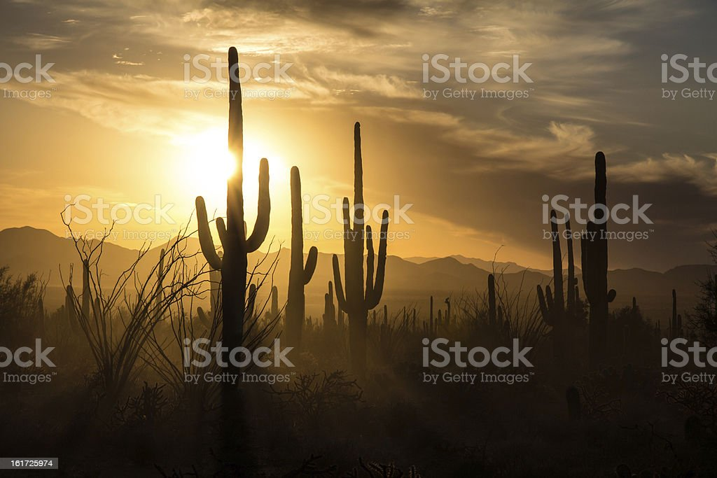 Saguaro Cactus silhouettes against golden sunset skies, Tucson, AZ stock photo