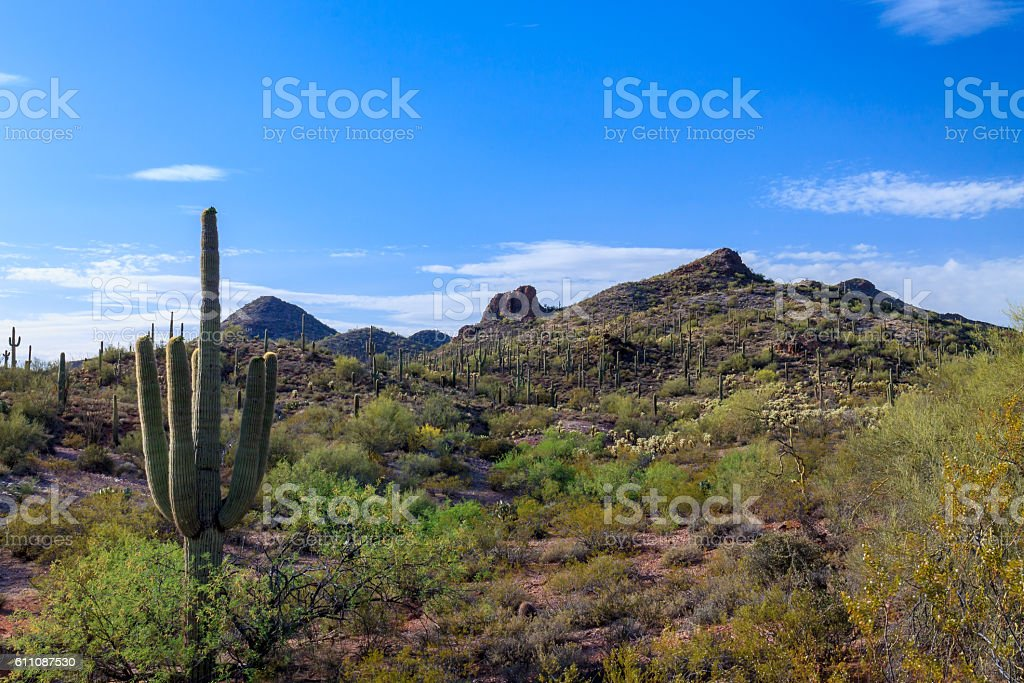 Saguaro Cactus, Sonoran Desert Panorama stock photo