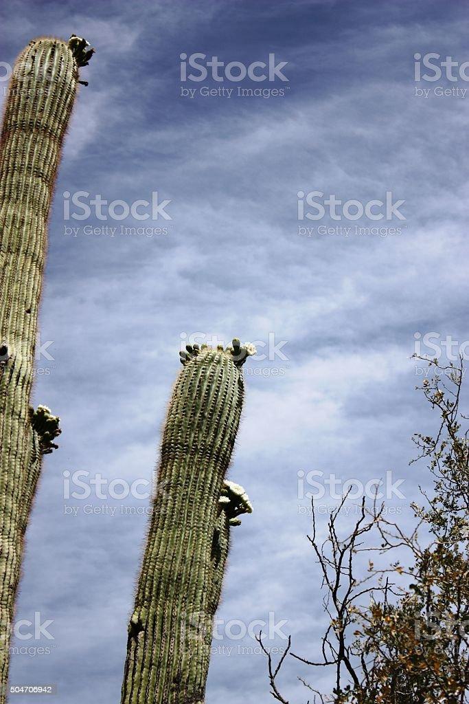 Saguaro Cactus under blue sky in Arizona, USA stock photo