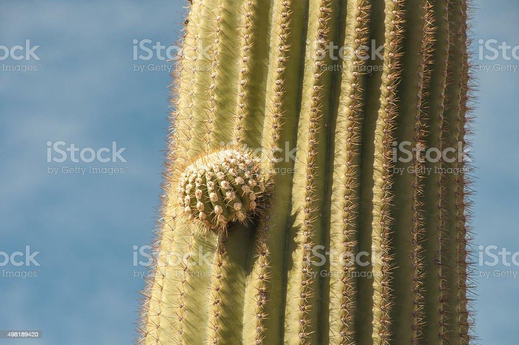 Saguaro Cactus With Budding New Arm stock photo