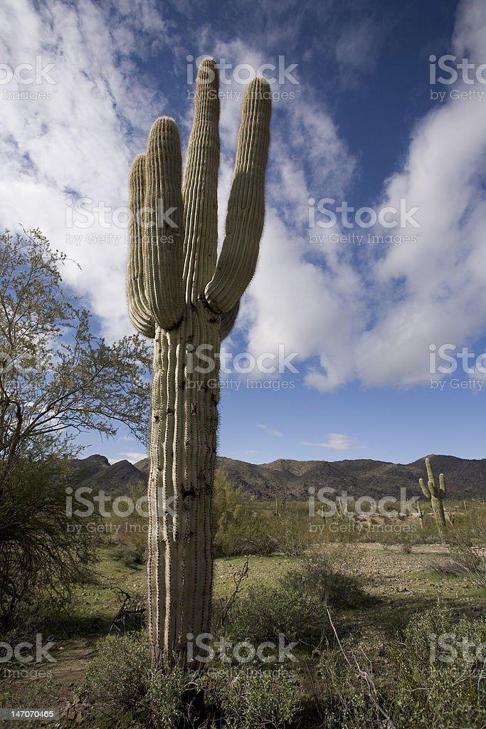 Saguaro Cactus With Three Arms royalty-free stock photo