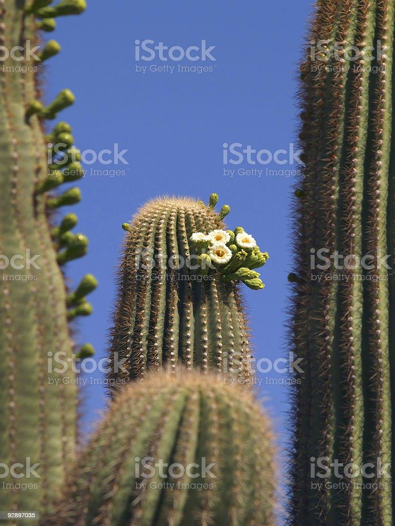Saguaro Flowers stock photo
