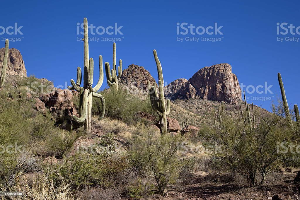 Saguaro Hillside royalty-free stock photo