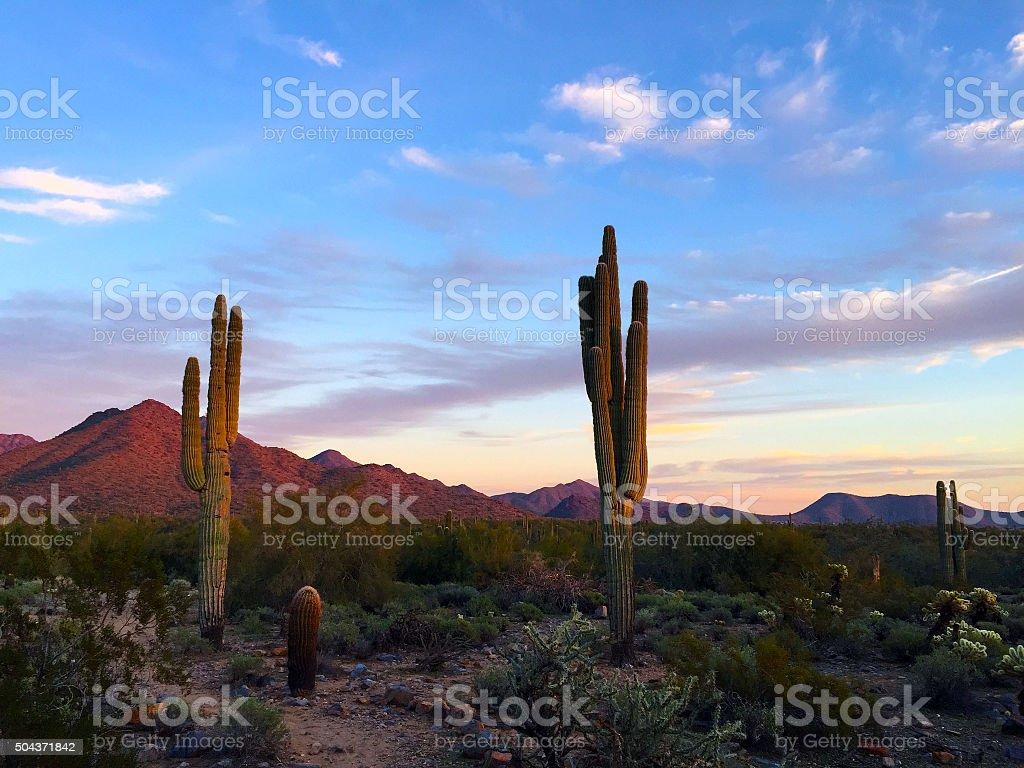 Saguaro in Sonoran Desert stock photo