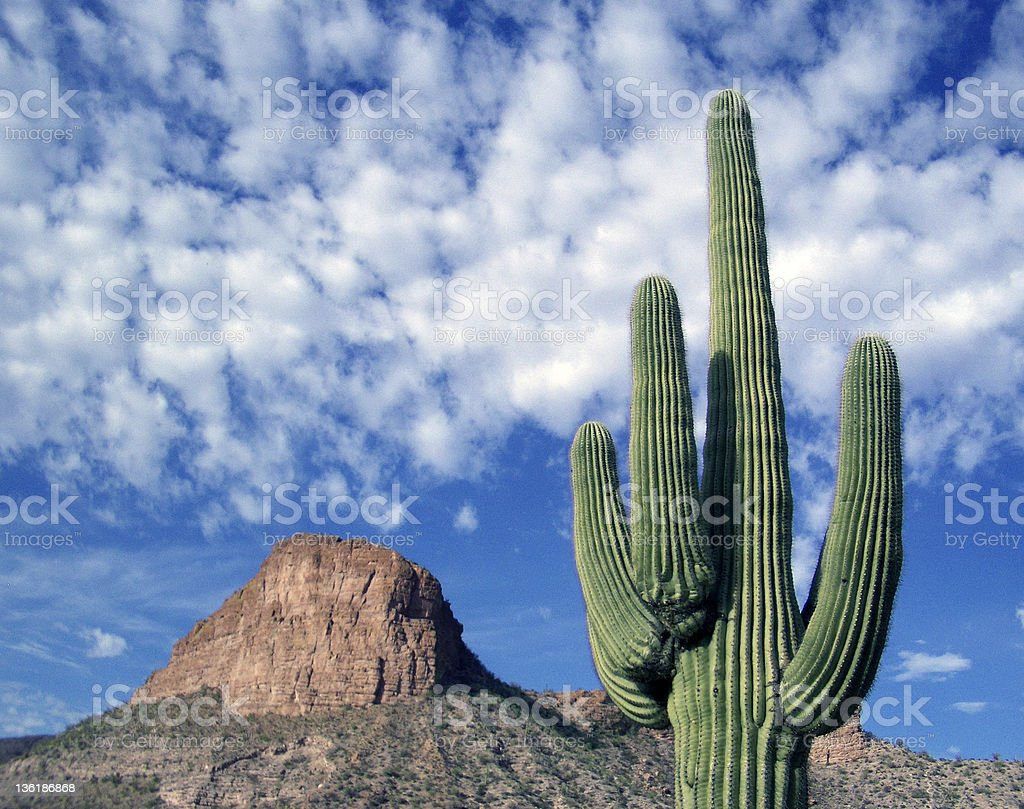 Saguaro in Tortilla Flat stock photo