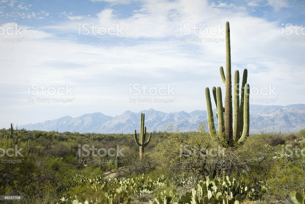 Saguaro National Monument royalty-free stock photo