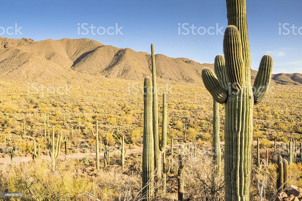 Saguaro National Park, Tucson, Arizona stock photo