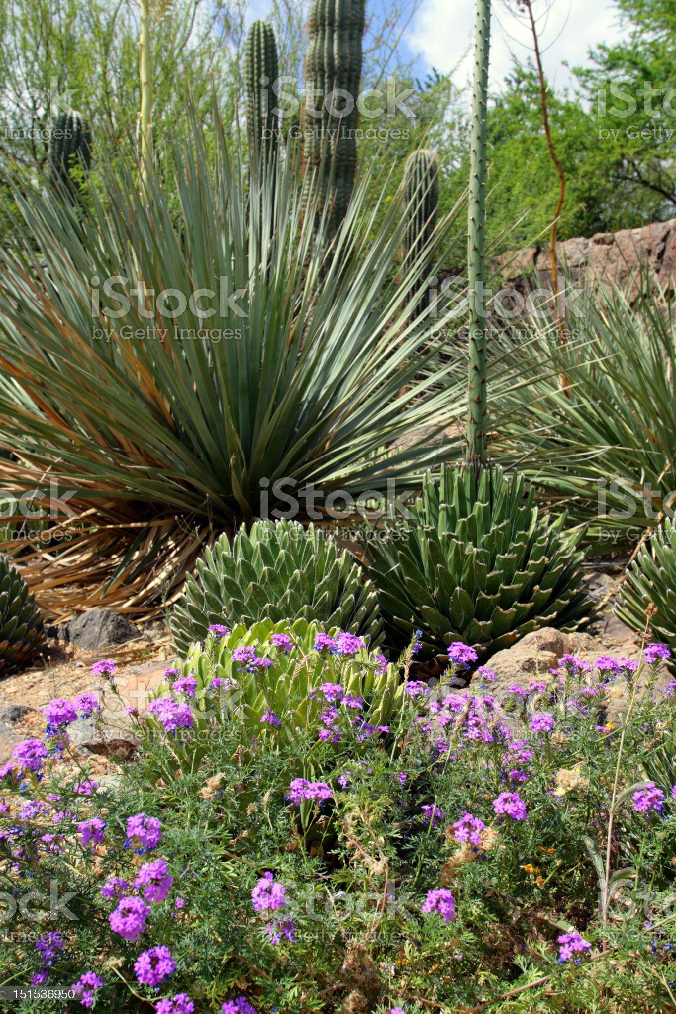 Saguaro National Park, USA royalty-free stock photo