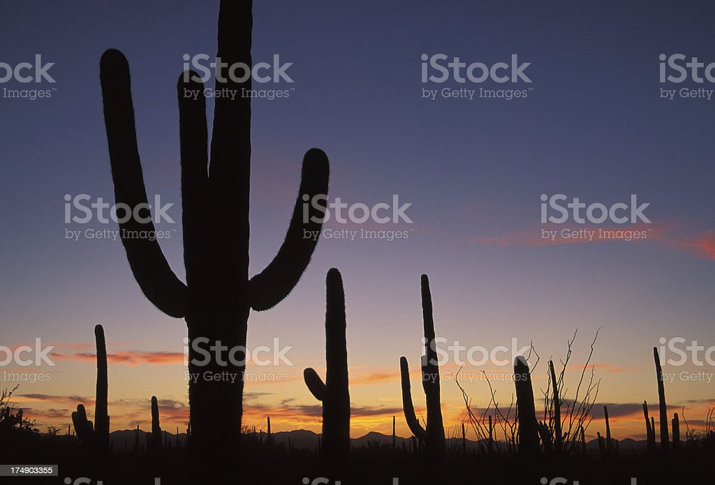 Saguaro silhouette at Dusk royalty-free stock photo