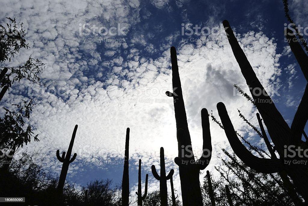 saguaro silhouttes royalty-free stock photo