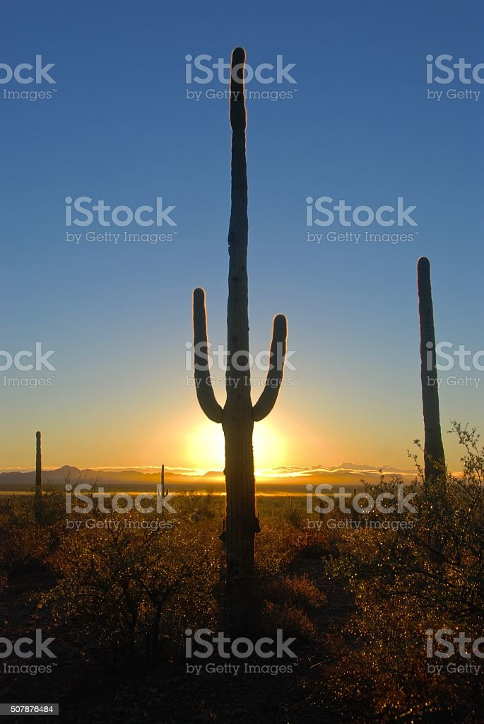 Saguaro Sunrise, Organ Pipe Cactus National Monument, Arizona stock photo