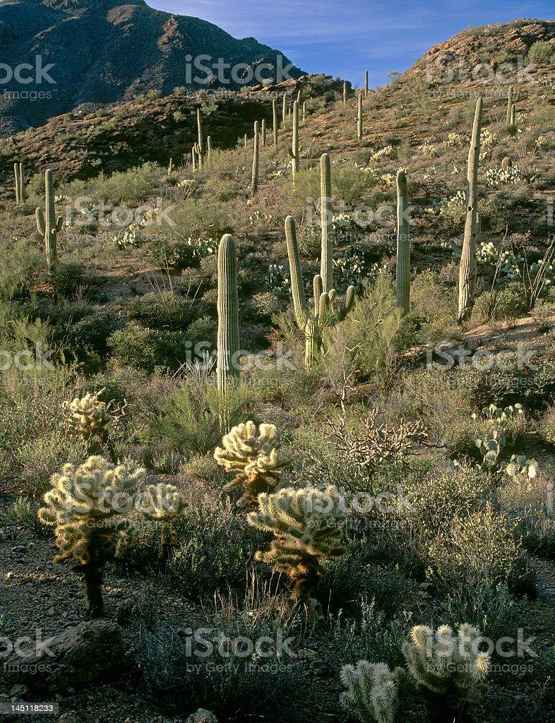 Saguaro Sunrise stock photo