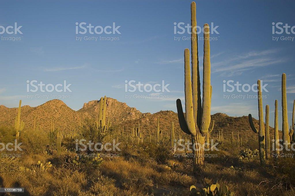 Saguaro Twilight royalty-free stock photo