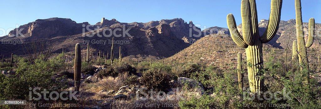 saguaro with morning light in Santa Catalina Mountains, Tucson, Arizona stock photo