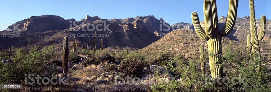 saguaro with morning light in Santa Catalina Mountains, Tucson, Arizona stock photo