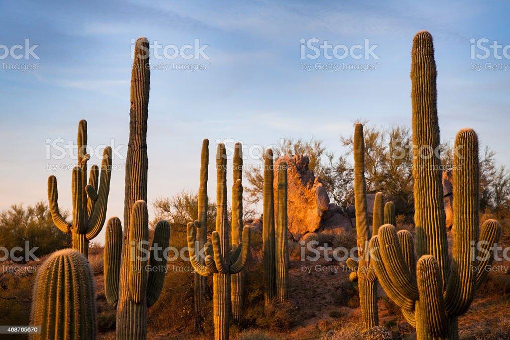 Saguaros In Arizona stock photo